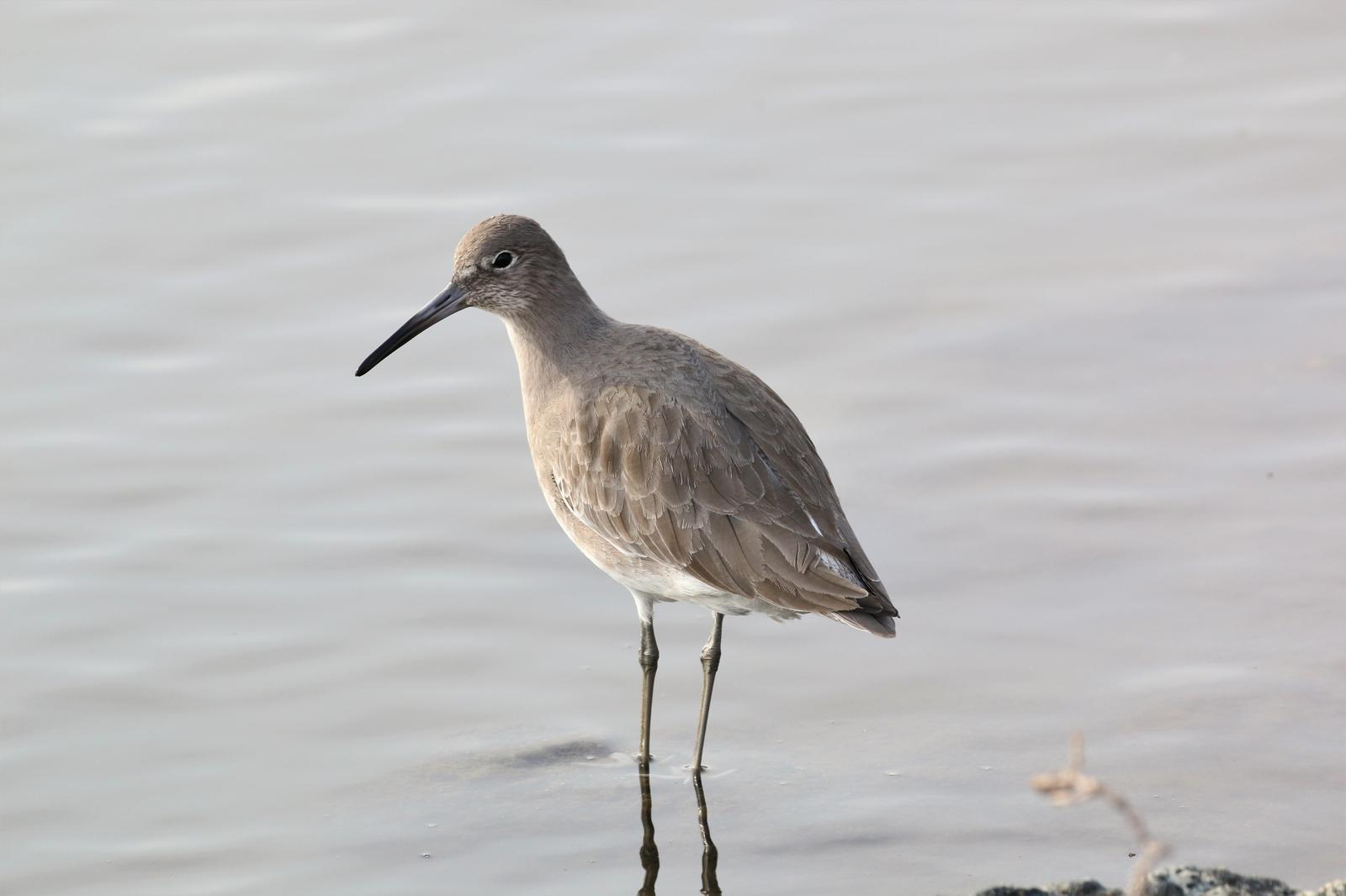 Willet Photo by Richard Jeffers