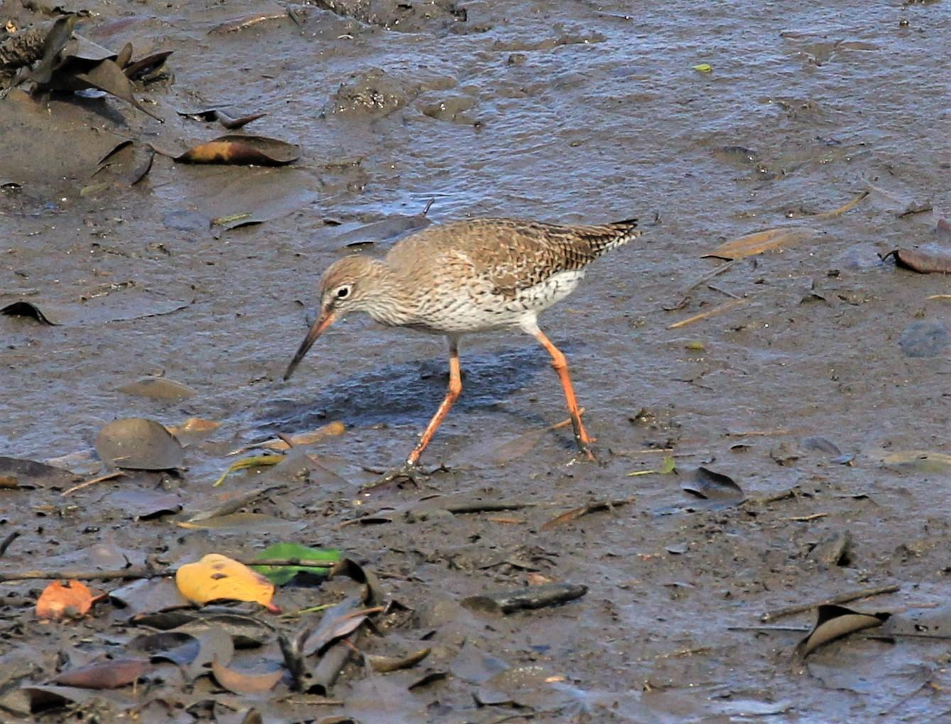 Common Redshank Photo by Steven Cheong