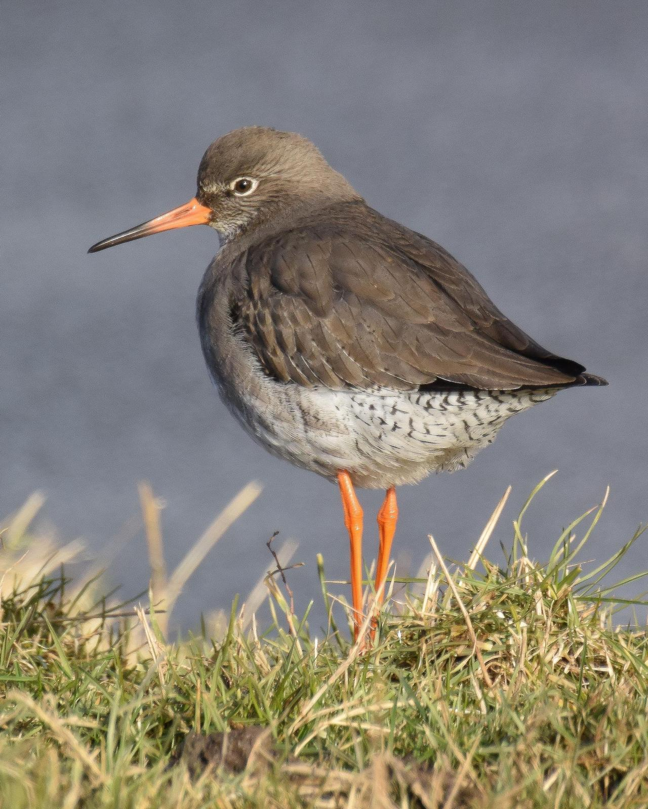 Common Redshank Photo by Steve Percival