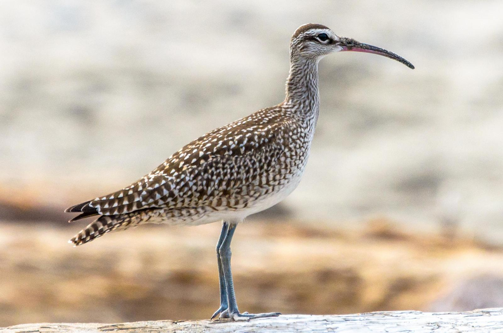 Whimbrel Photo by Scott Yerges