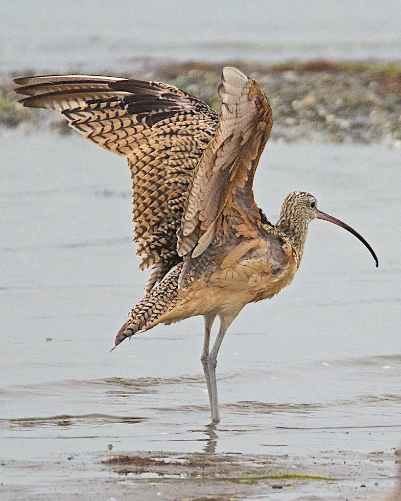 Long-billed Curlew Photo by Brian Avent