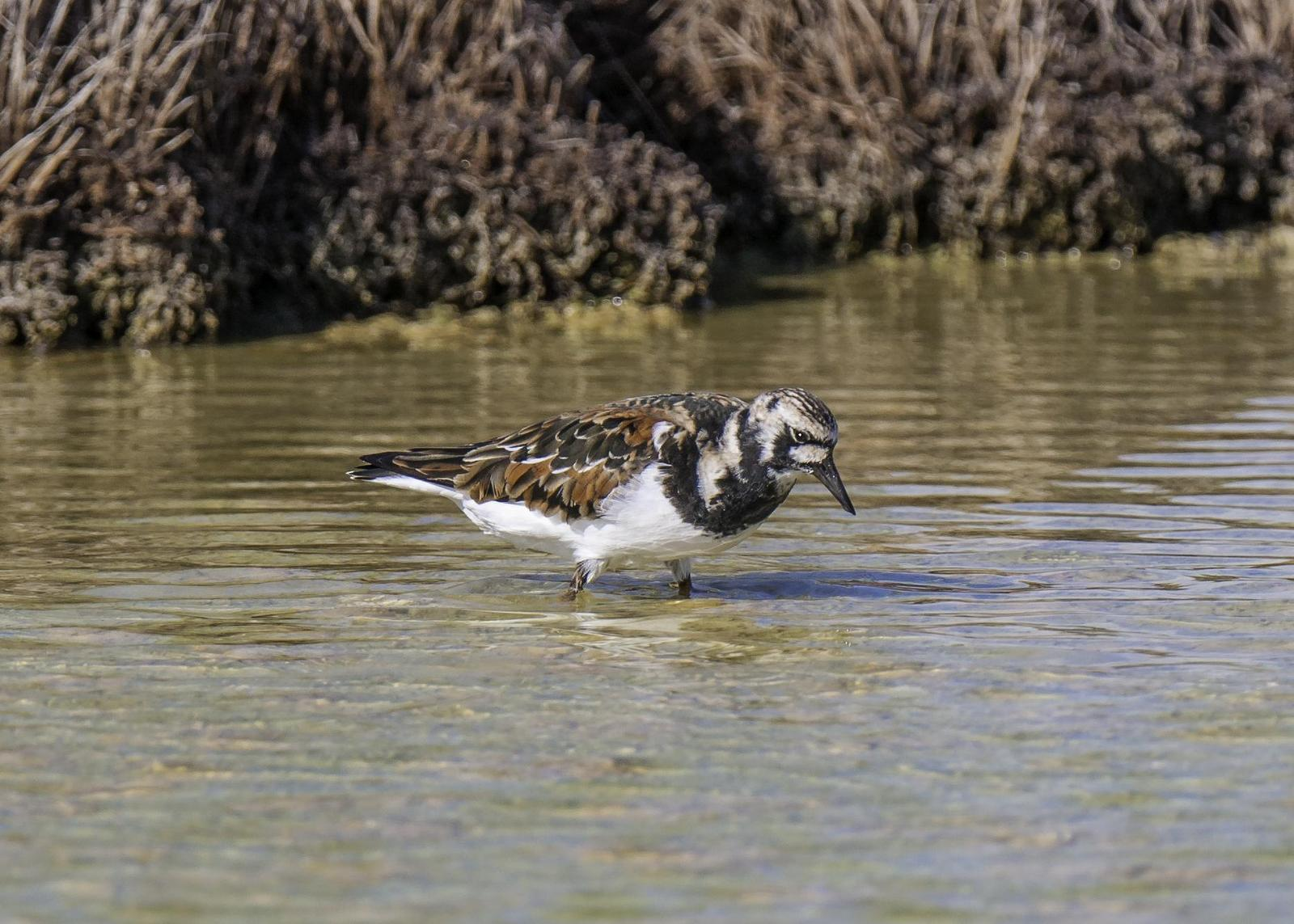 Ruddy Turnstone Photo by Mason Rose