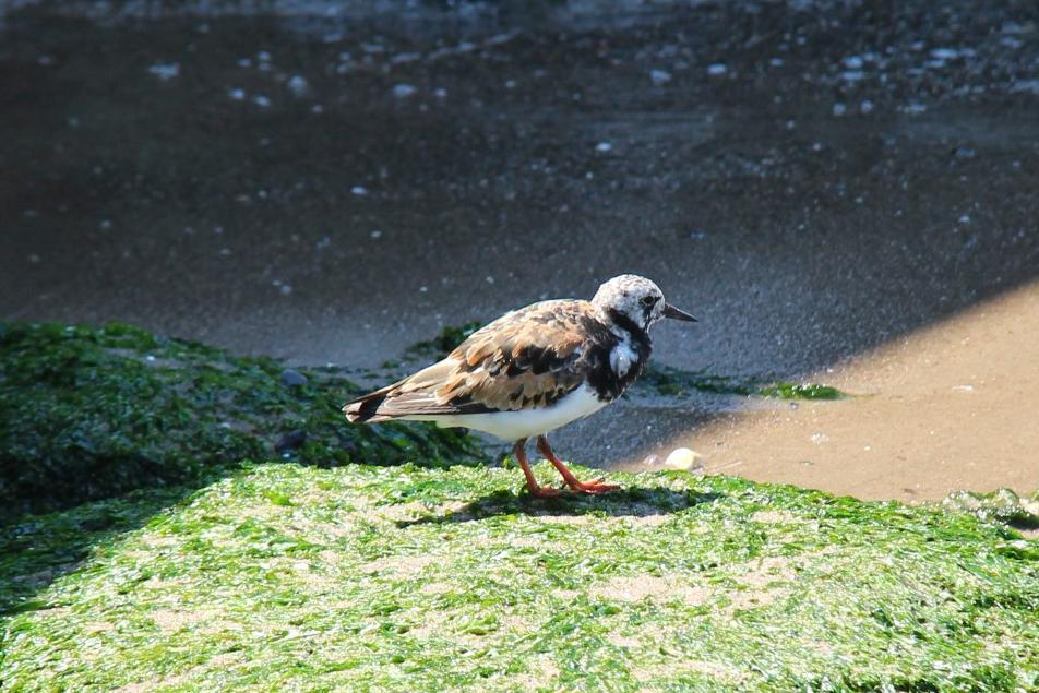Ruddy Turnstone Photo by Roseanne CALECA