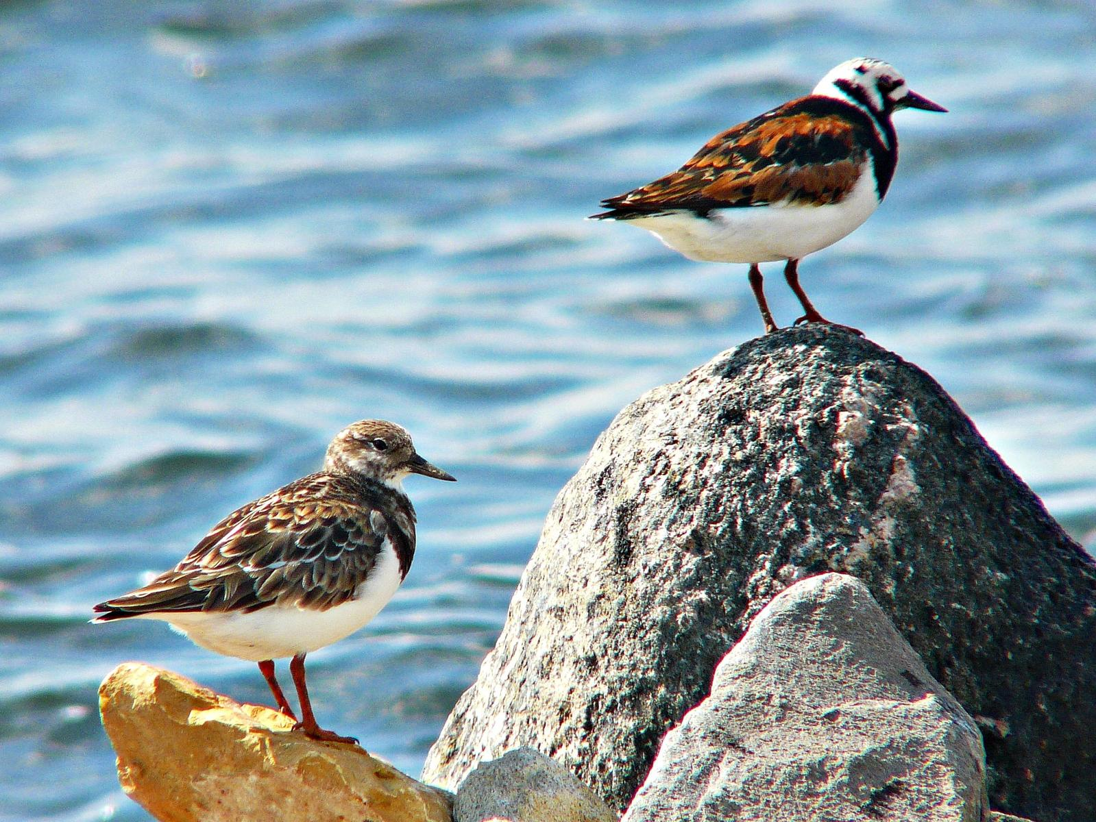 Ruddy Turnstone Photo by Bob Neugebauer