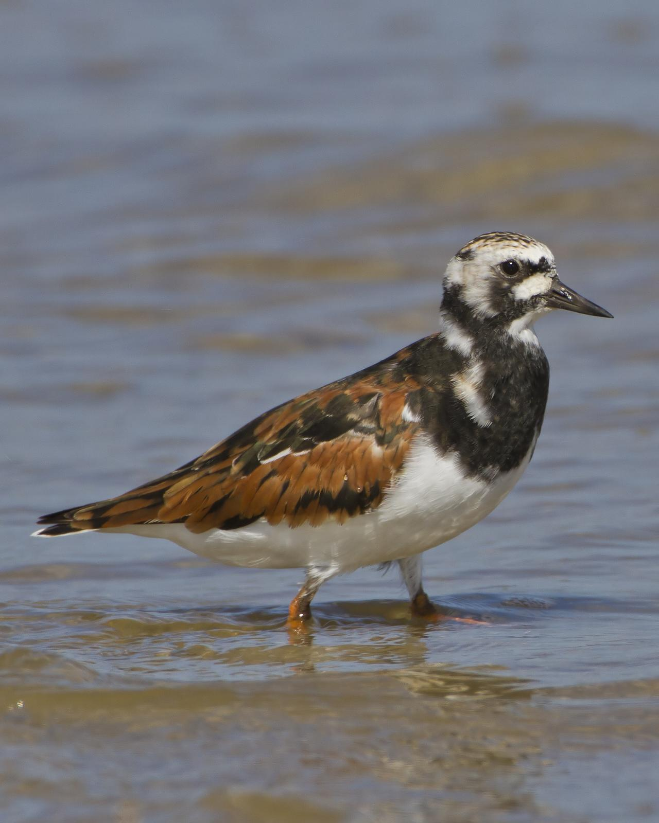 Ruddy Turnstone Photo by Bill Adams
