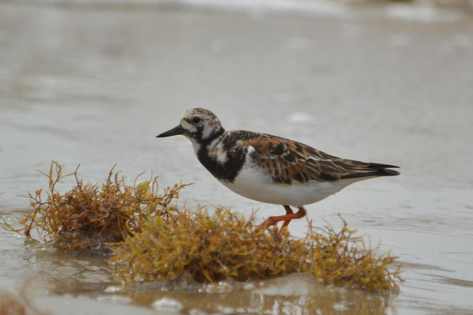 Ruddy Turnstone Photo by Jeannette Piecznski