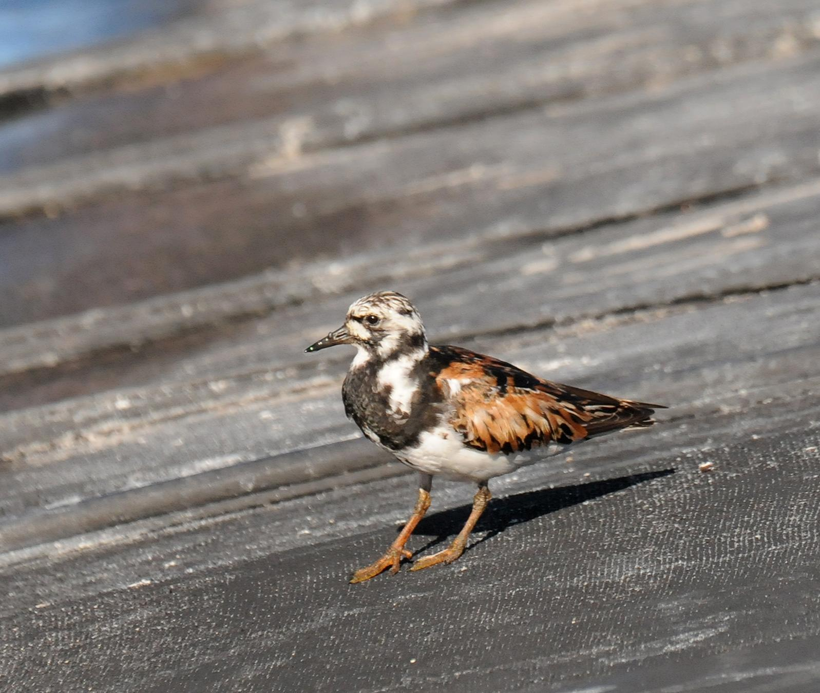 Ruddy Turnstone Photo by Steven Mlodinow