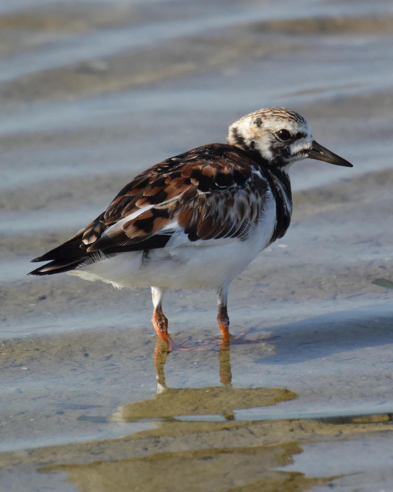 Ruddy Turnstone Photo by Emily Percival