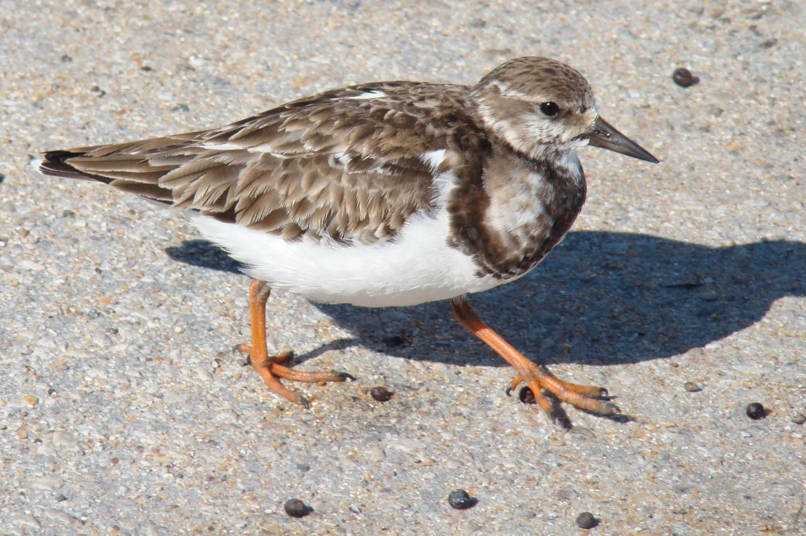 Ruddy Turnstone Photo by Bob Heitzman