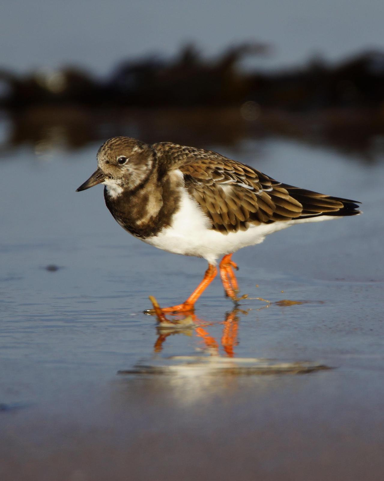 Ruddy Turnstone Photo by Steve Percival