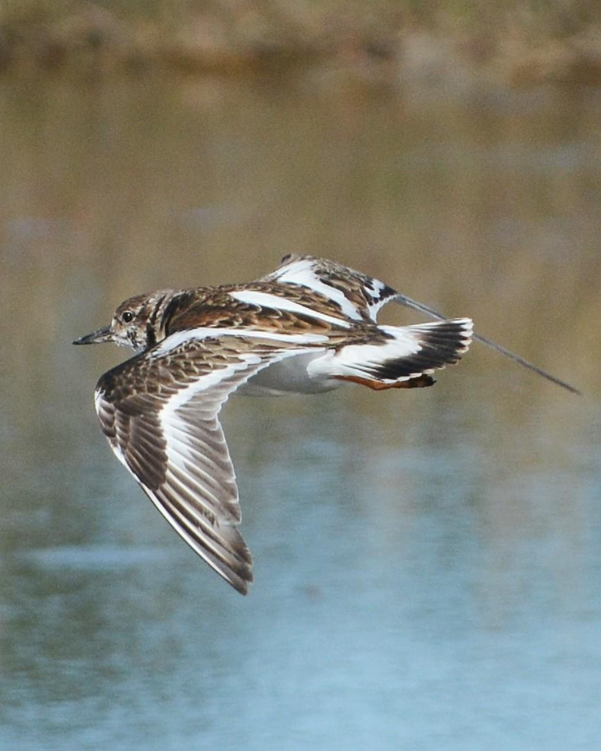 Ruddy Turnstone Photo by David Hollie