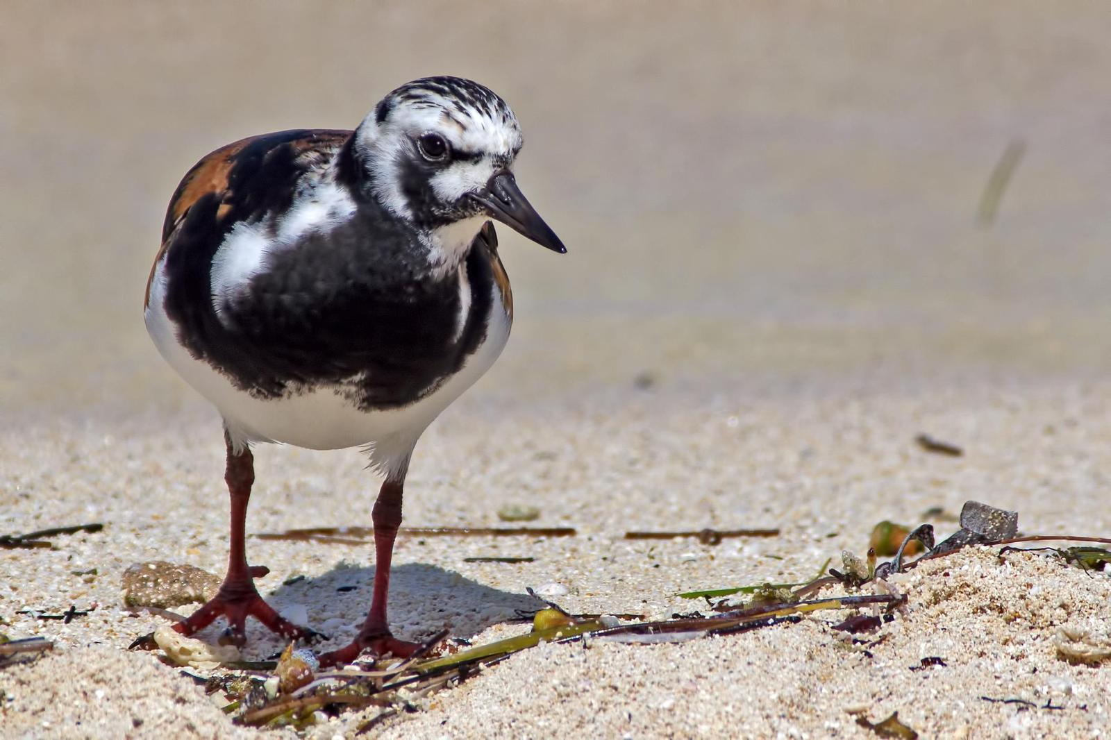 Ruddy Turnstone Photo by Rob Dickerson