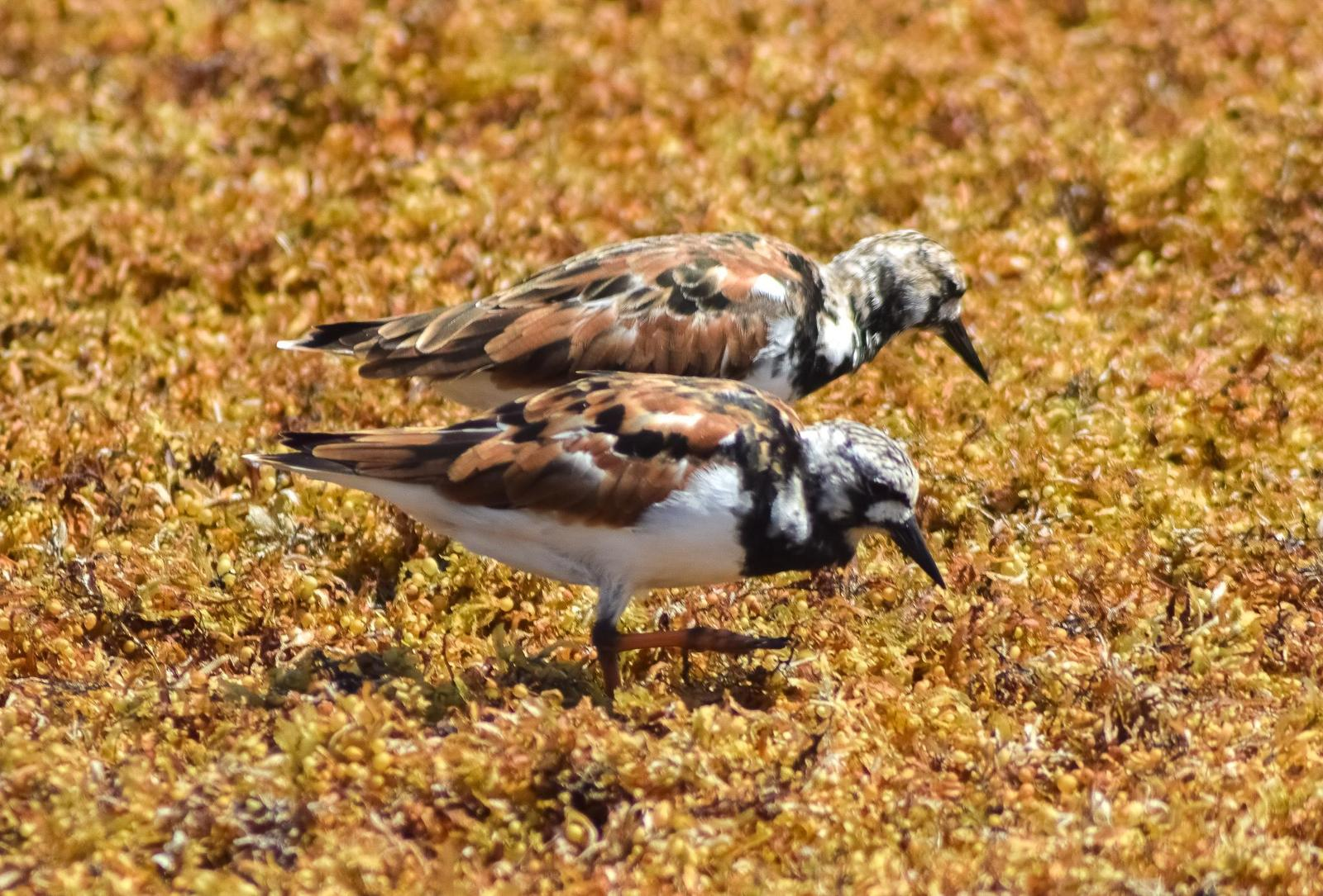 Ruddy Turnstone Photo by Laura A. Martínez Cantú