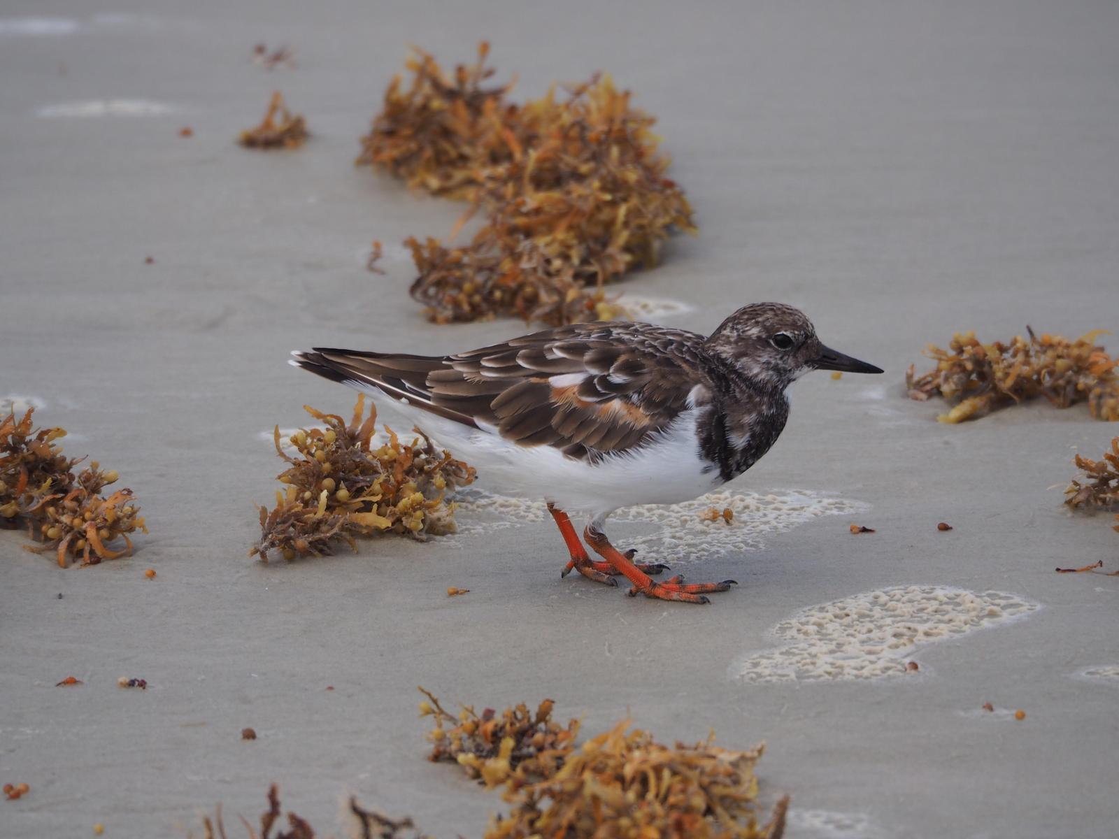Ruddy Turnstone Photo by Colin Hill
