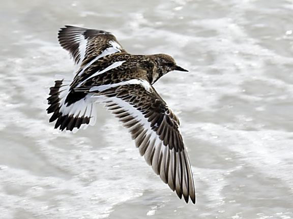 Ruddy Turnstone Photo by Dan Tallman