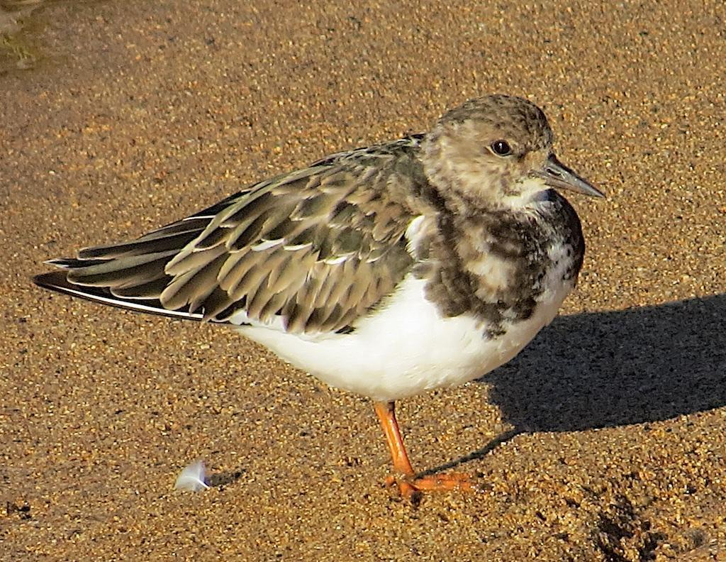 Ruddy Turnstone Photo by Brian Avent