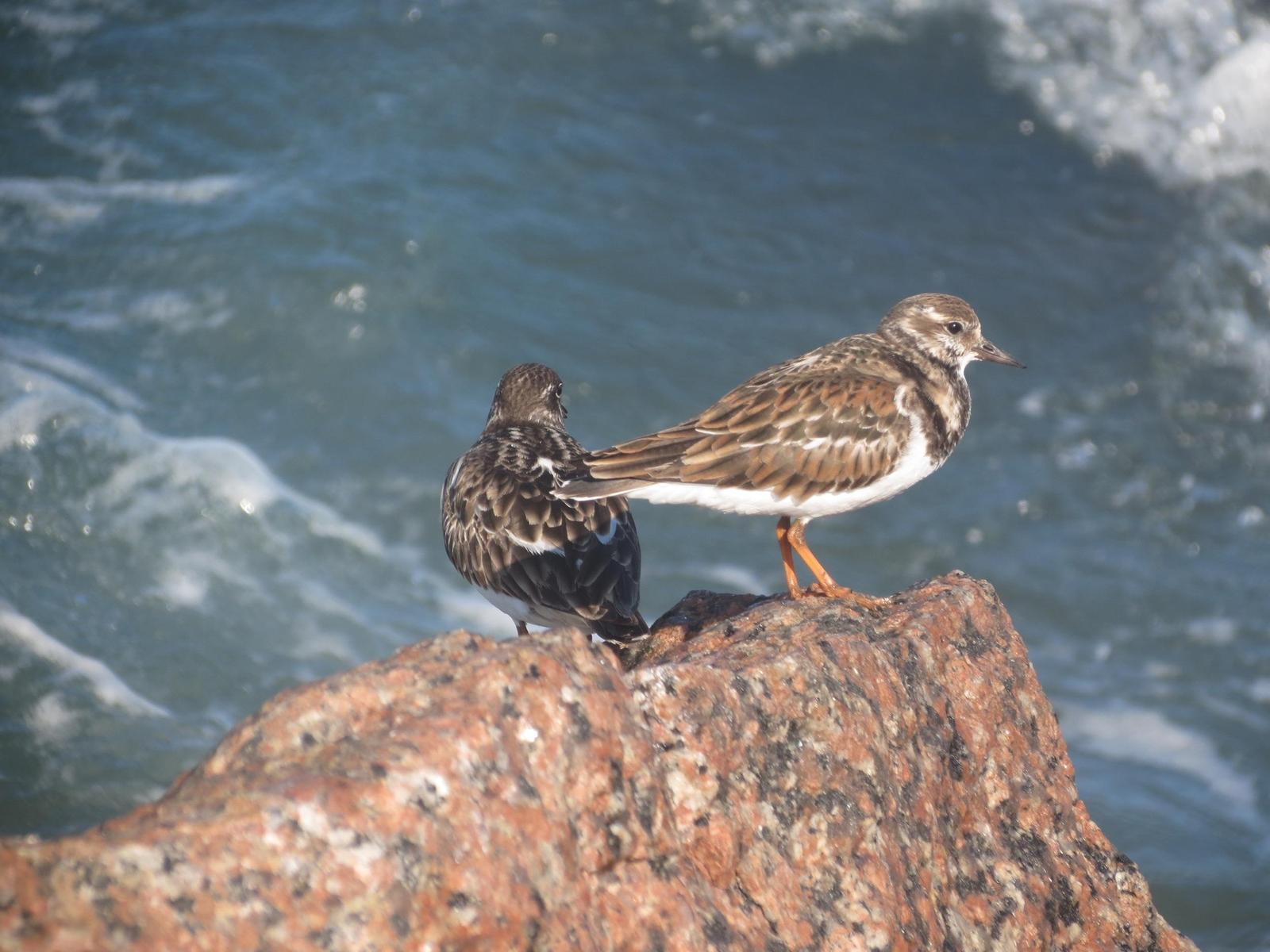 Ruddy Turnstone Photo by Nolan Keyes
