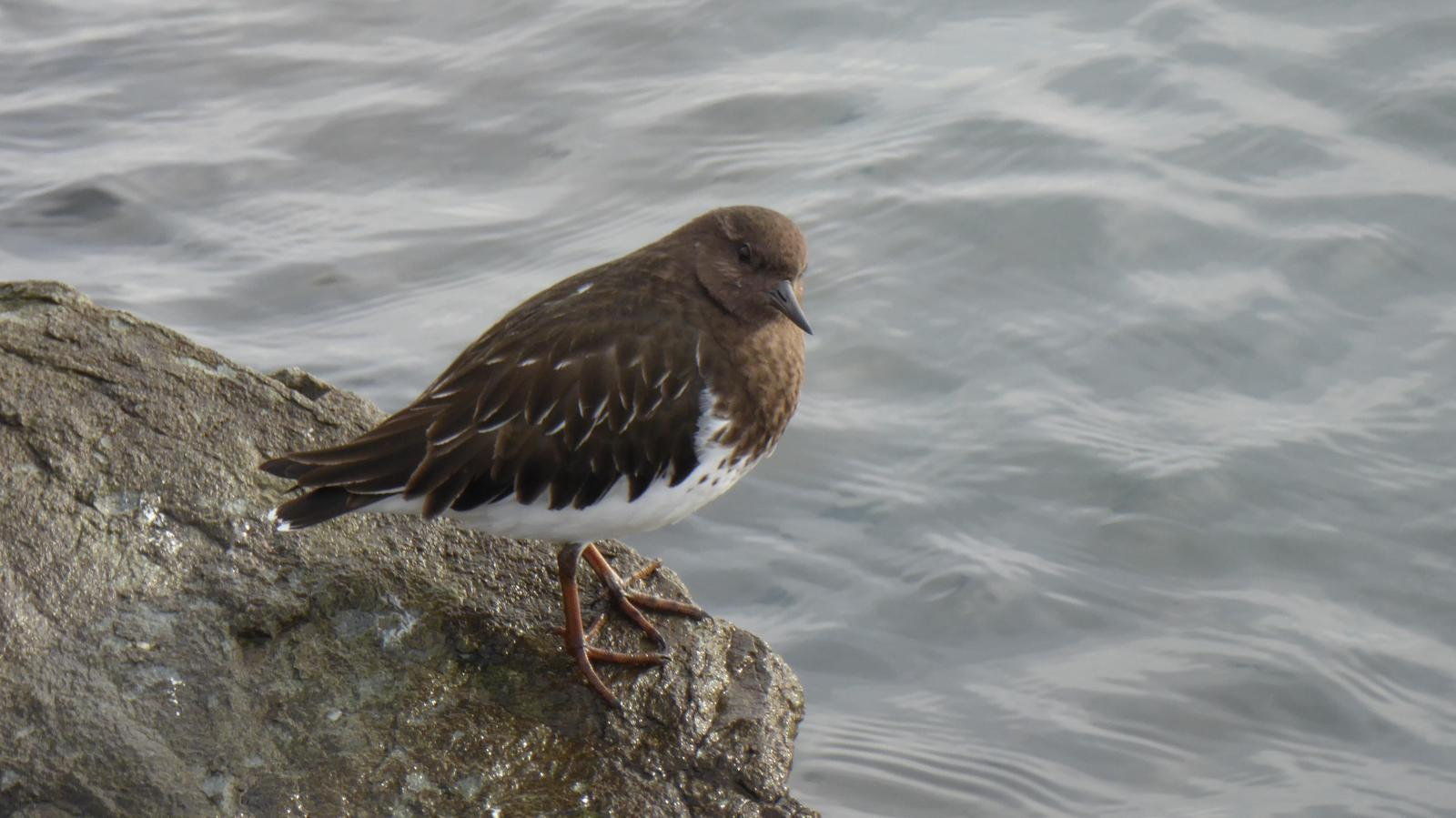 Black Turnstone Photo by Daliel Leite