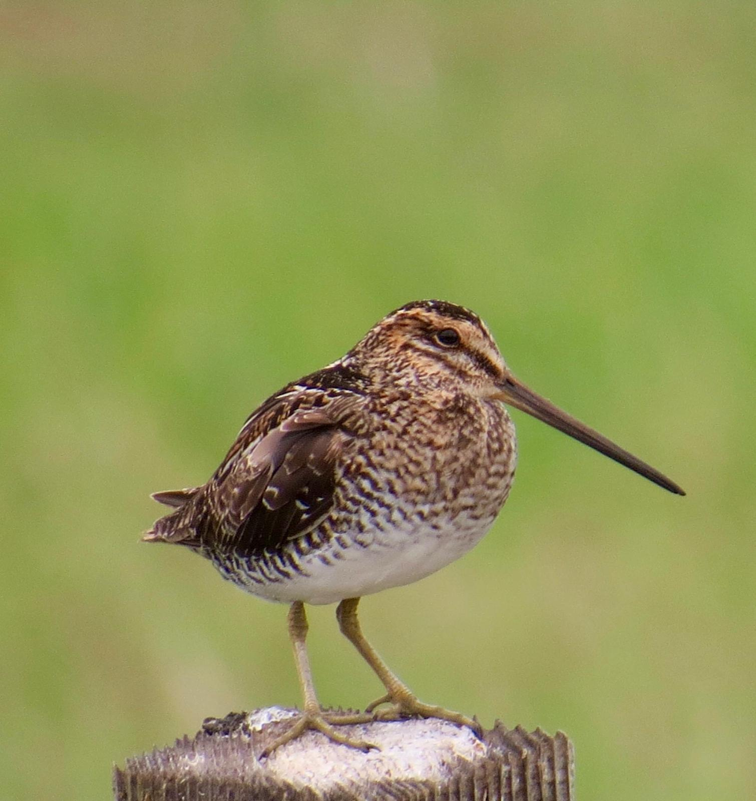 Wilson's Snipe Photo by Don Glasco