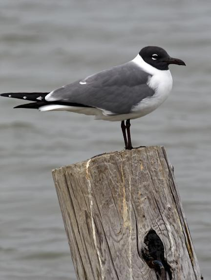 Laughing Gull Photo by Dan Tallman