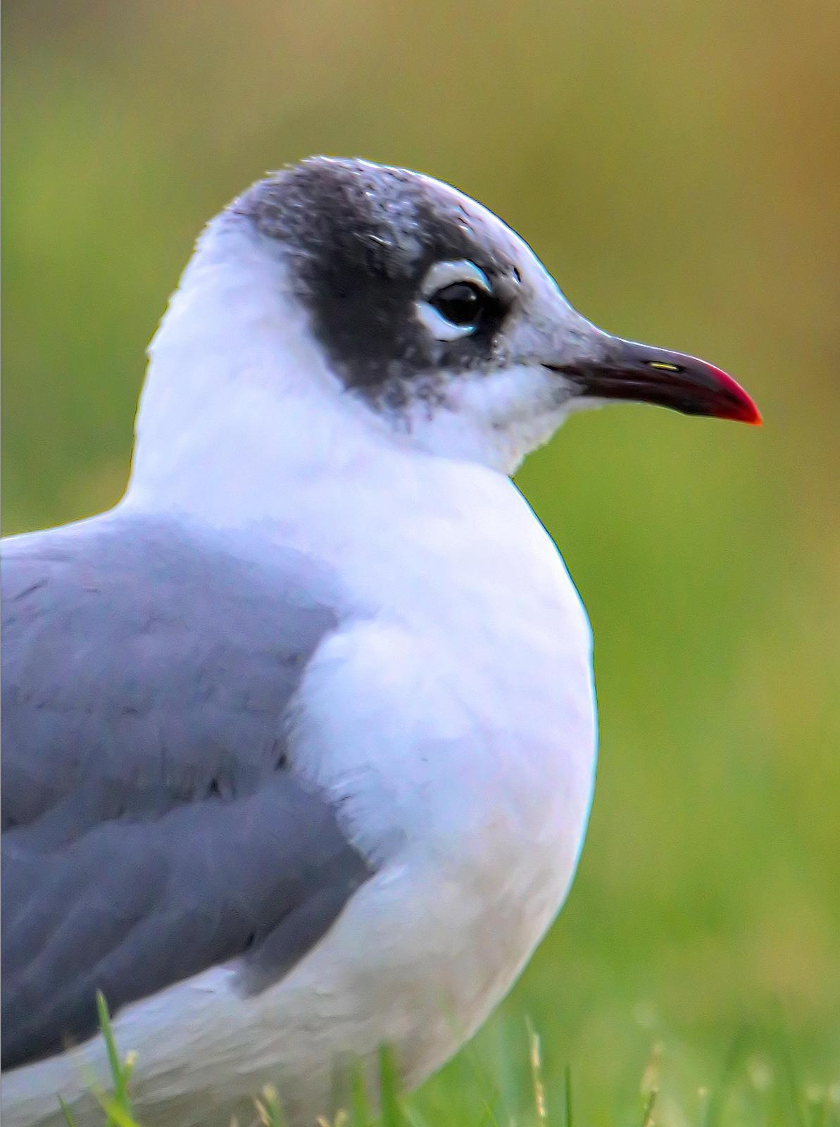 Franklin's Gull Photo by Dan Tallman