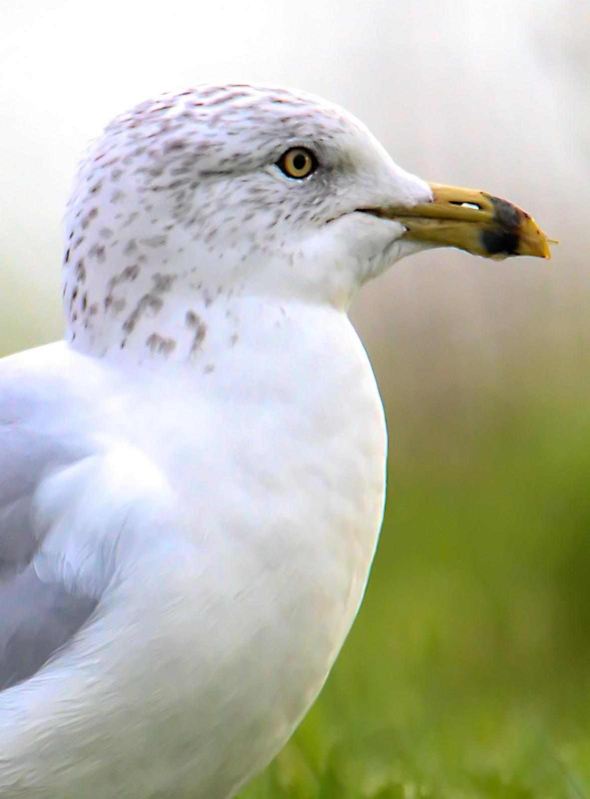 Ring-billed Gull Photo by Dan Tallman