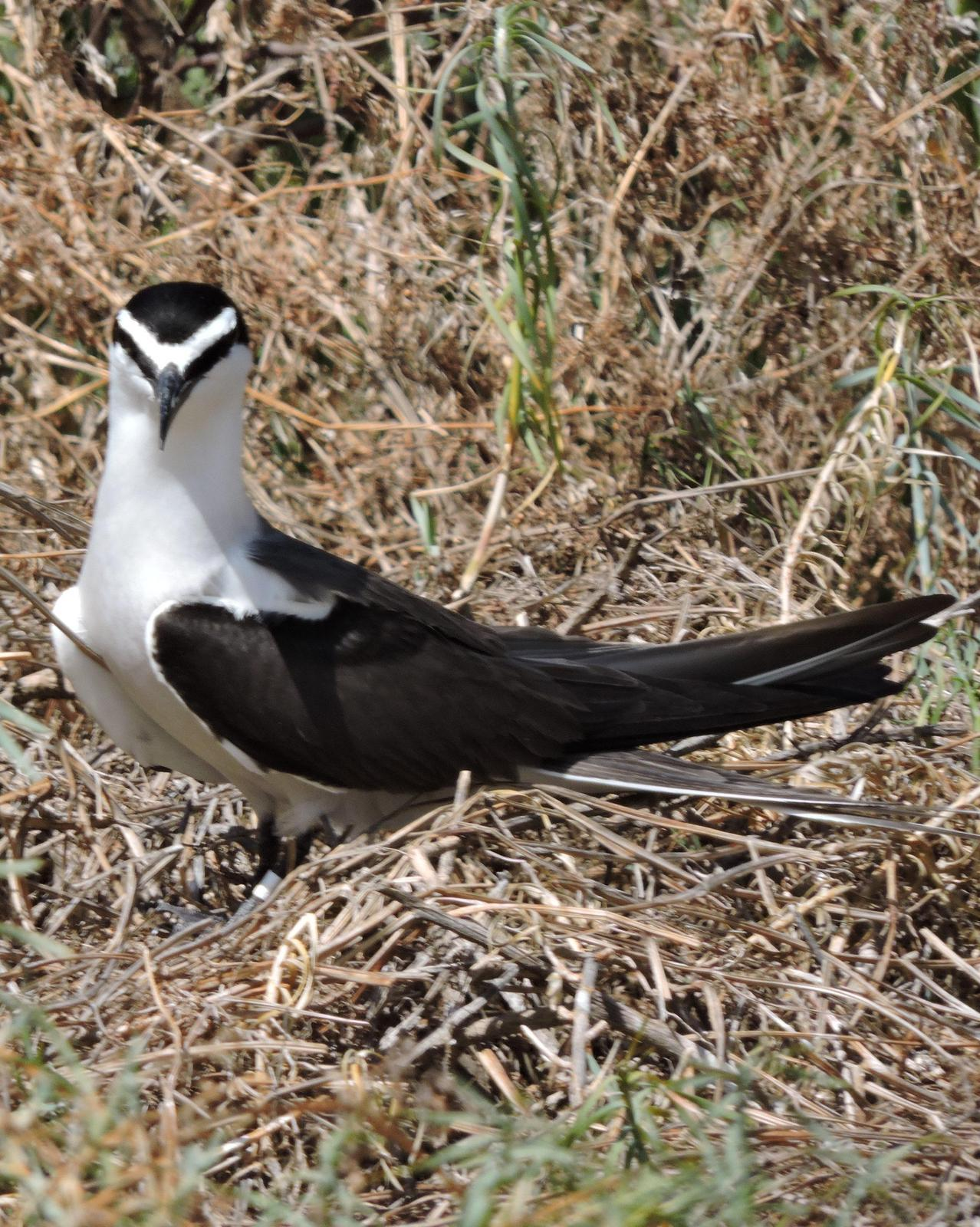 Bridled Tern Photo by Peter Lowe