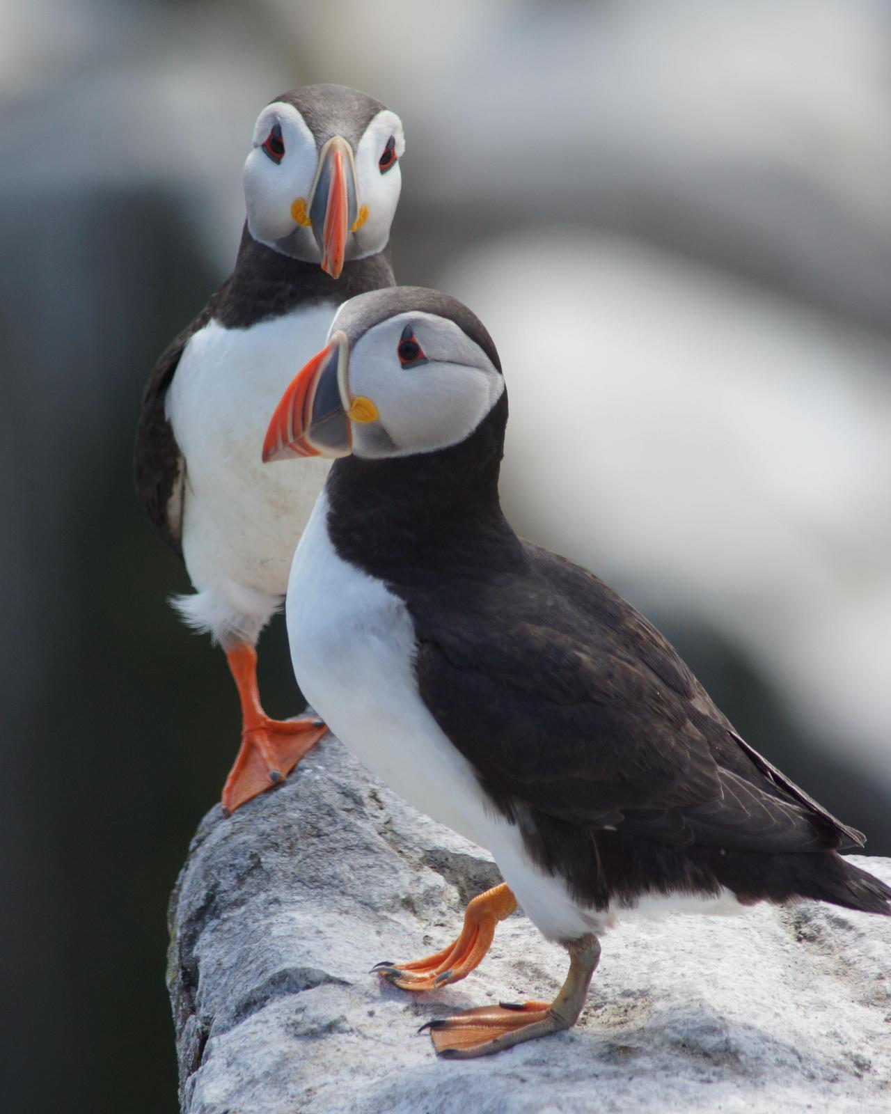 Atlantic Puffin Photo by Steve Percival