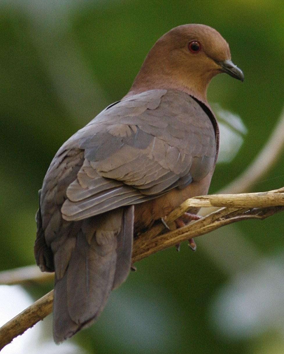 Short-billed Pigeon Photo by Oscar Johnson