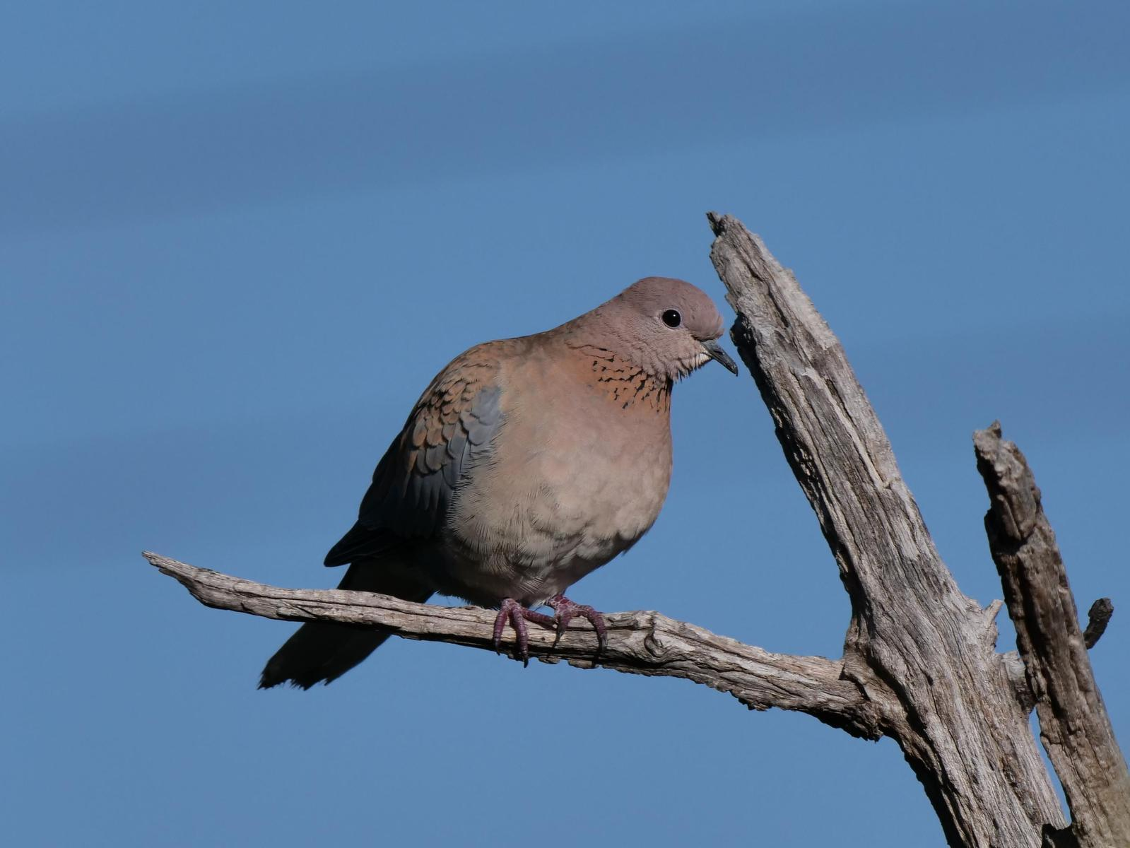 Laughing Dove Photo by Peter Lowe