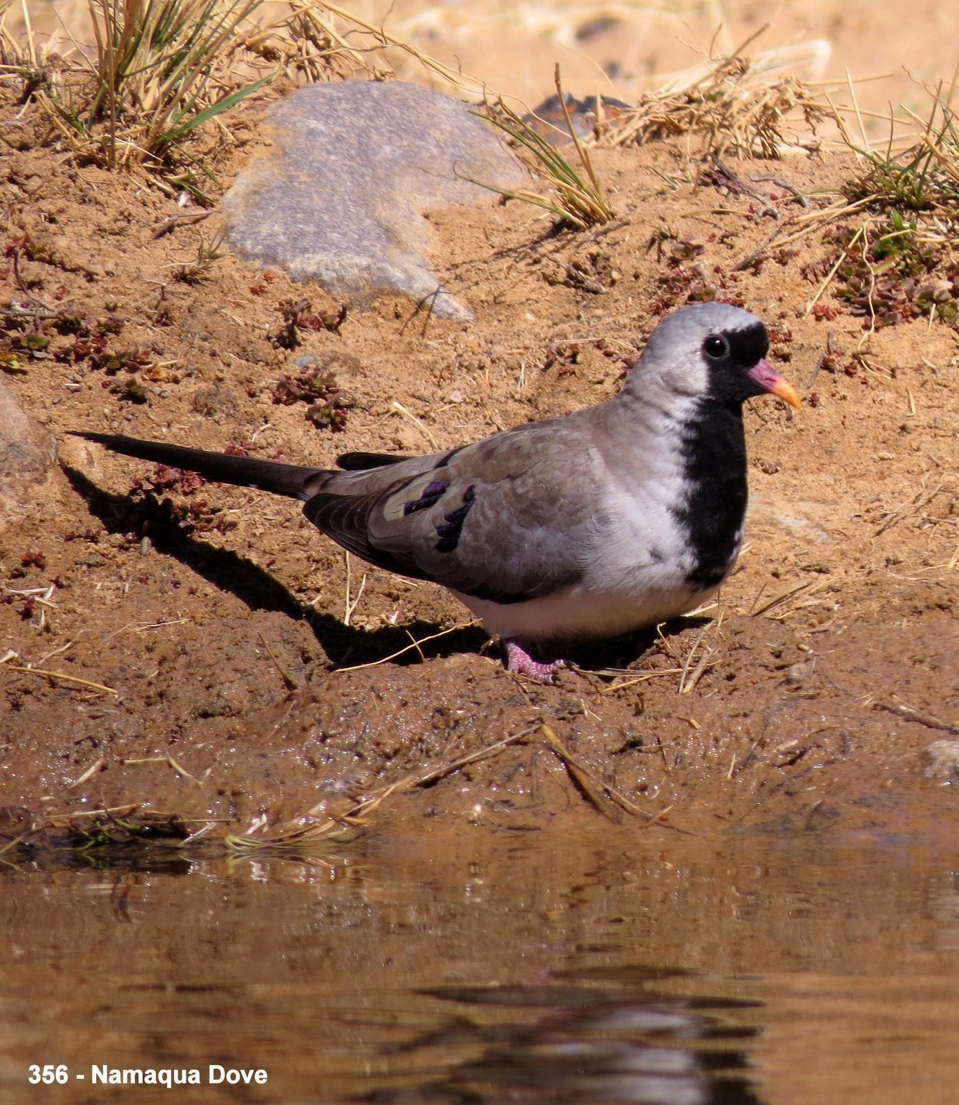 Namaqua Dove Photo by Richard  Lowe