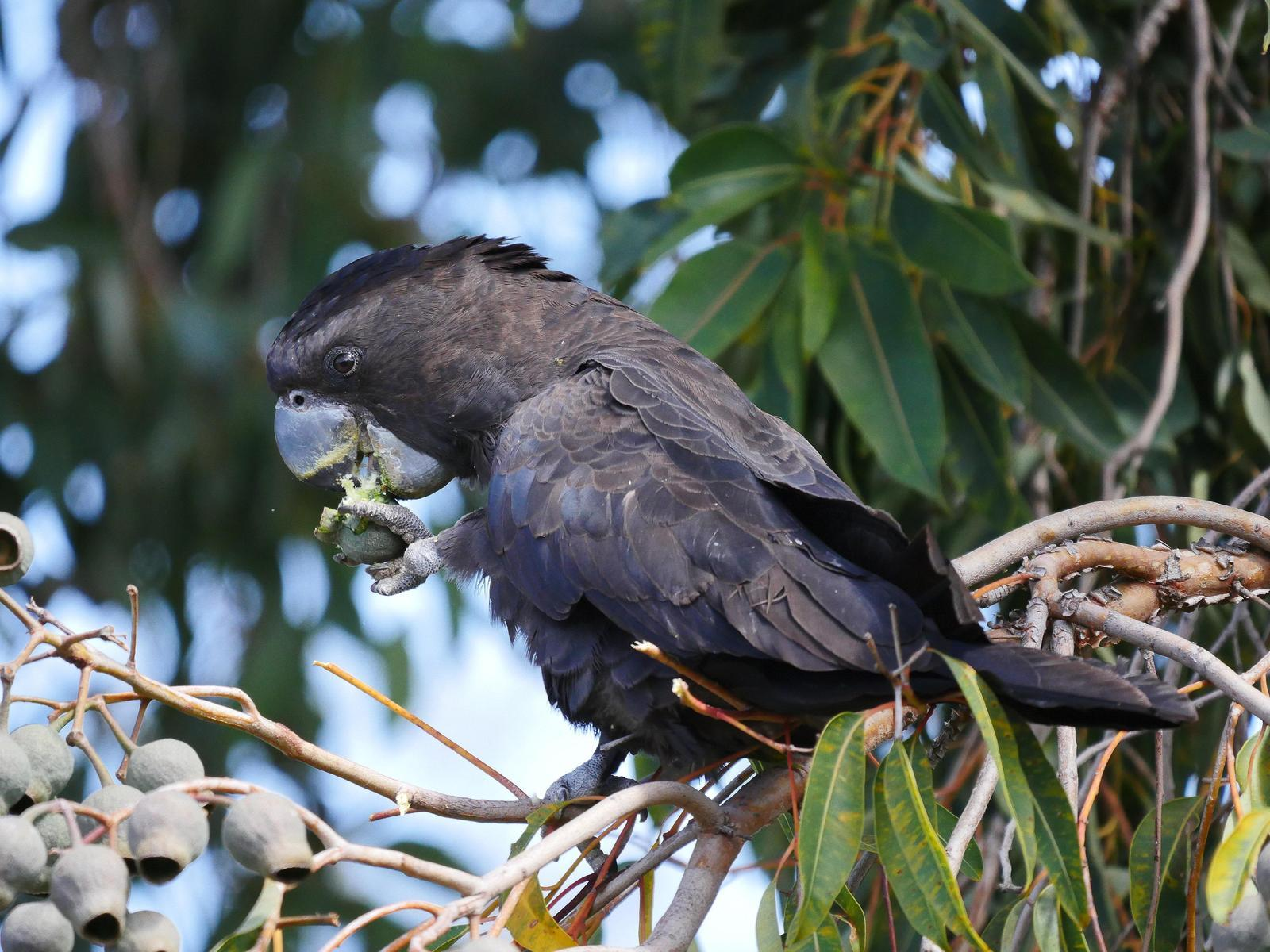 Red-tailed Black-Cockatoo Photo by Peter Lowe
