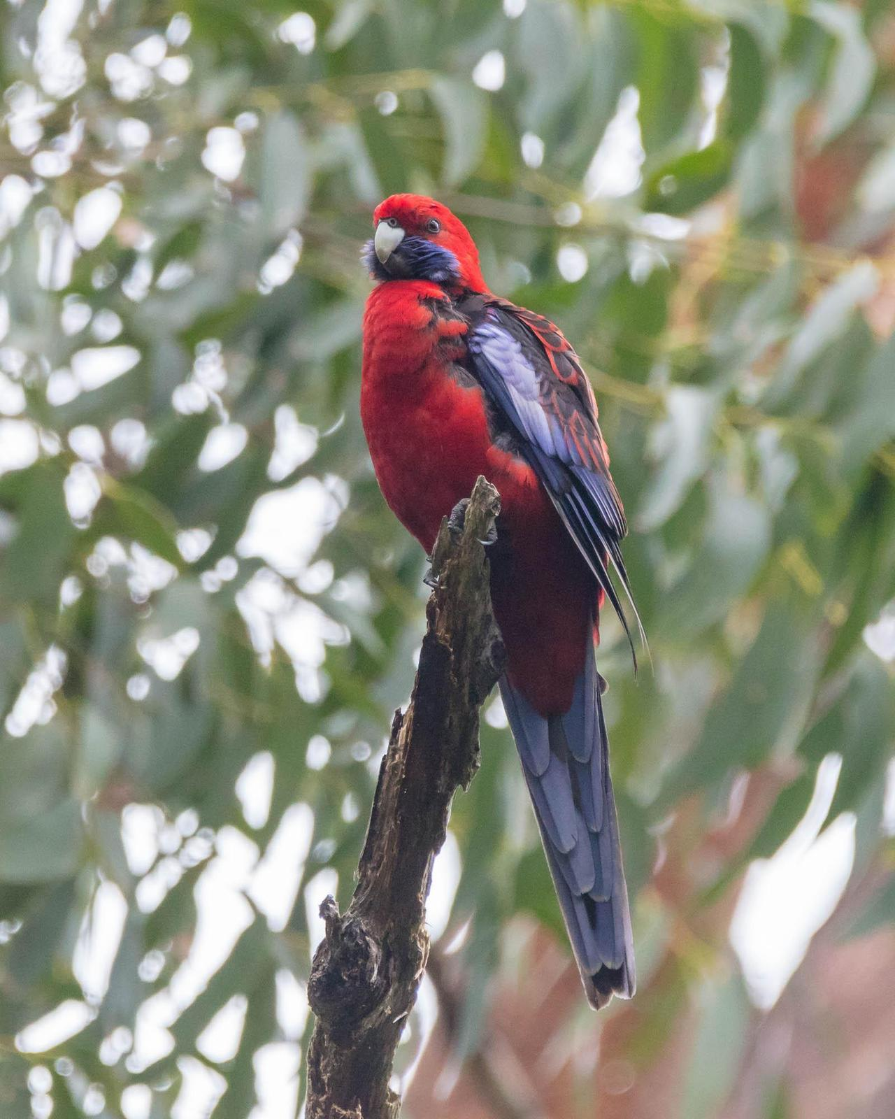 Crimson Rosella (Crimson) Photo by Denis Rivard