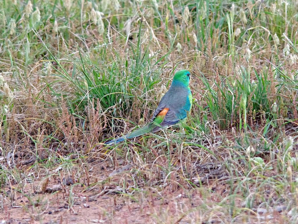 Red-rumped Parrot Photo by Richard Lund