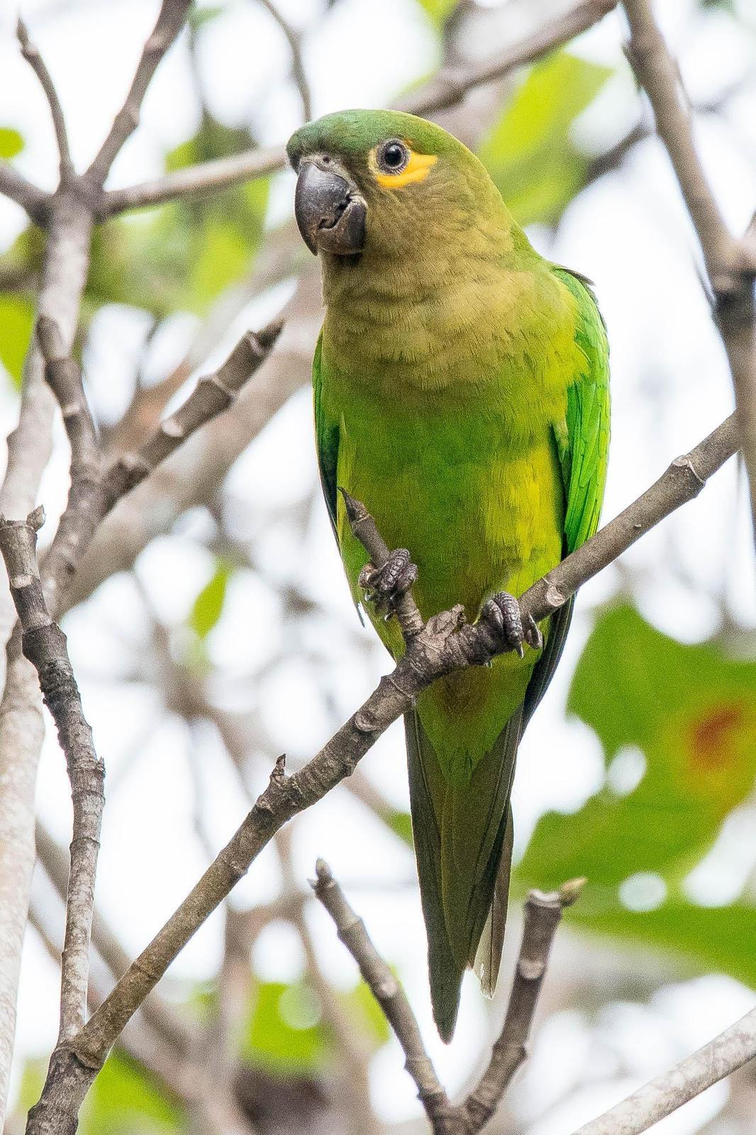 Brown-throated Parakeet Photo by Denis Rivard