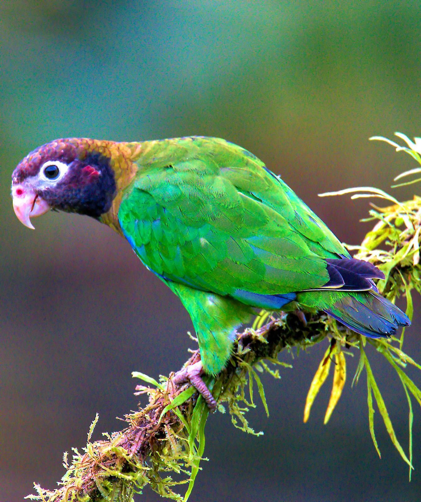 Brown-hooded Parrot Photo by Dan Tallman