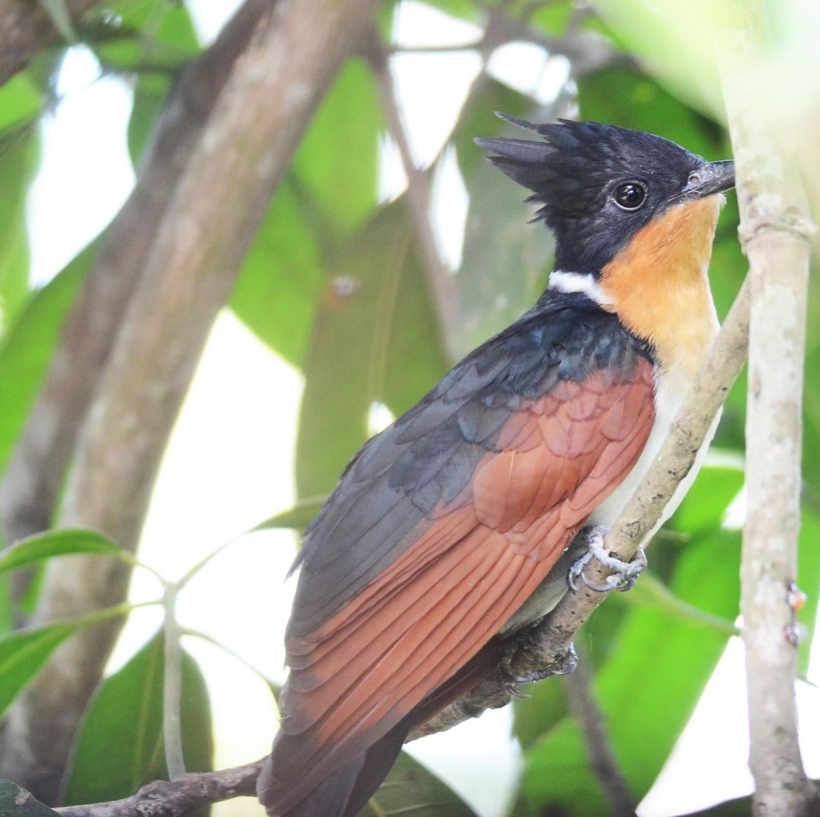 Chestnut-winged Cuckoo Photo by Uthai Cheummarung