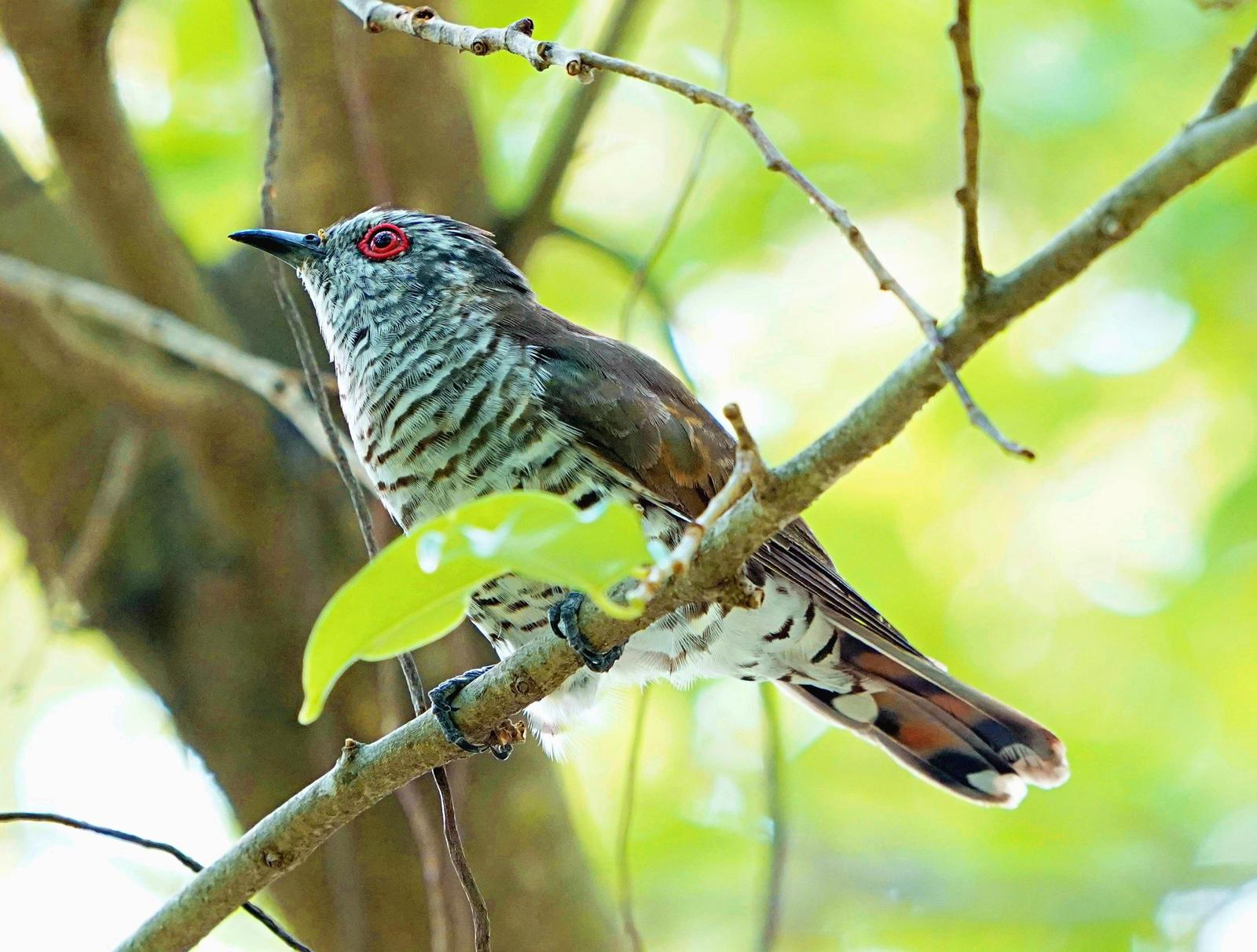 Little Bronze-Cuckoo Photo by Steven Cheong