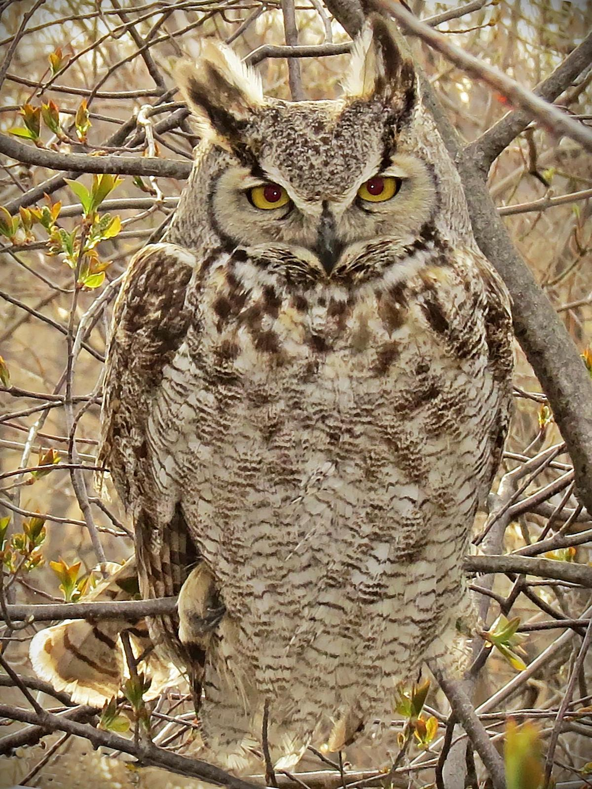 Great Horned Owl Photo by Bob Neugebauer
