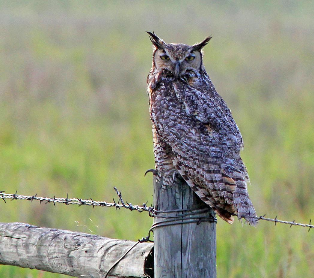 Great Horned Owl Photo by Tom Gannon