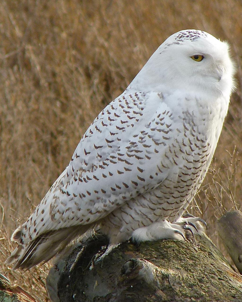 Snowy Owl Photo by Brian Avent