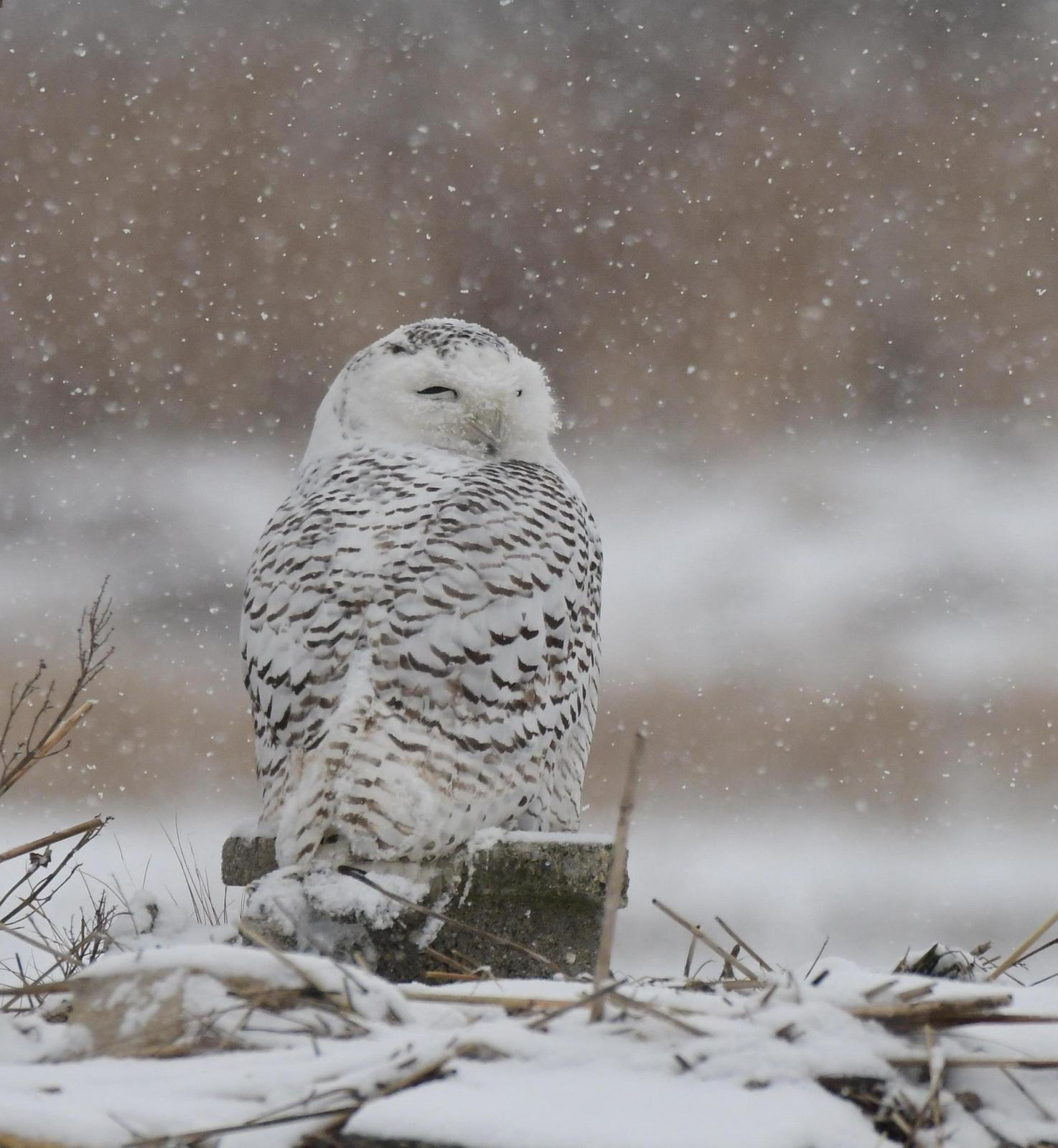 Snowy Owl Photo by Jacob Zadik