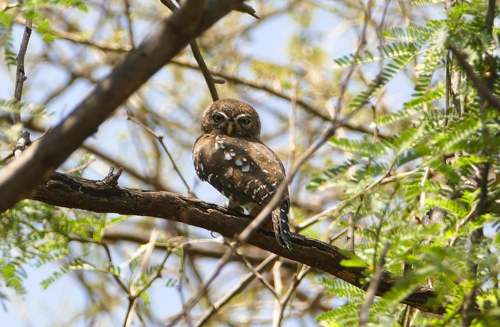 Pearl-spotted Owlet Photo by Randy Siebert