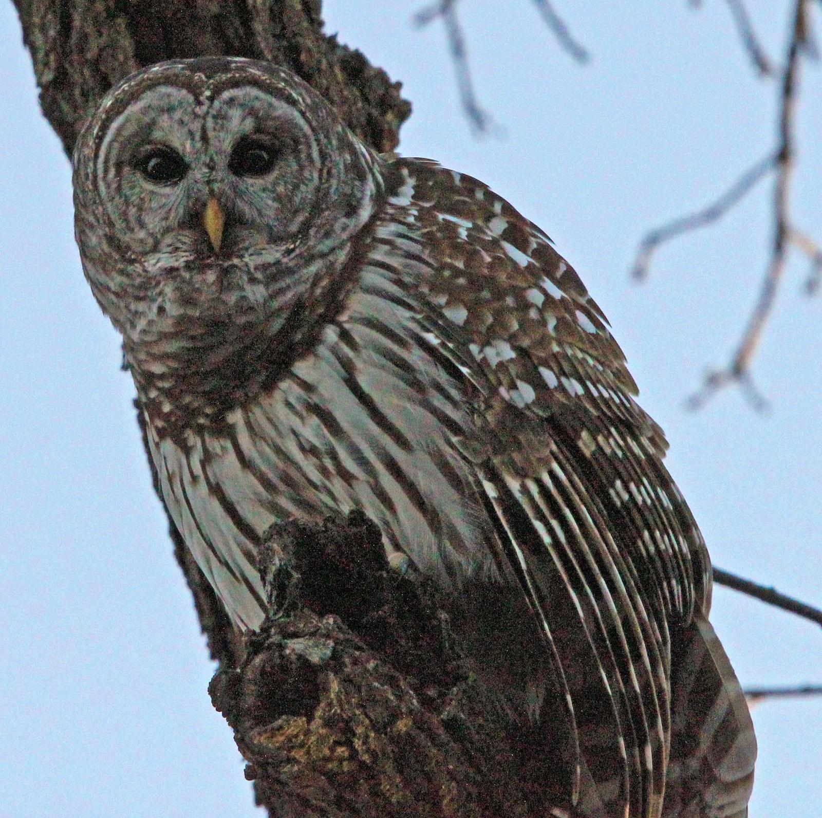 Barred Owl Photo by Tom Gannon