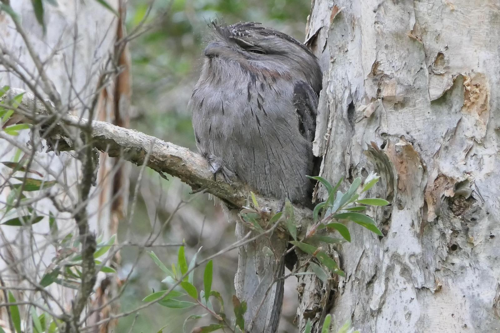 Tawny Frogmouth Photo by Randy Siebert