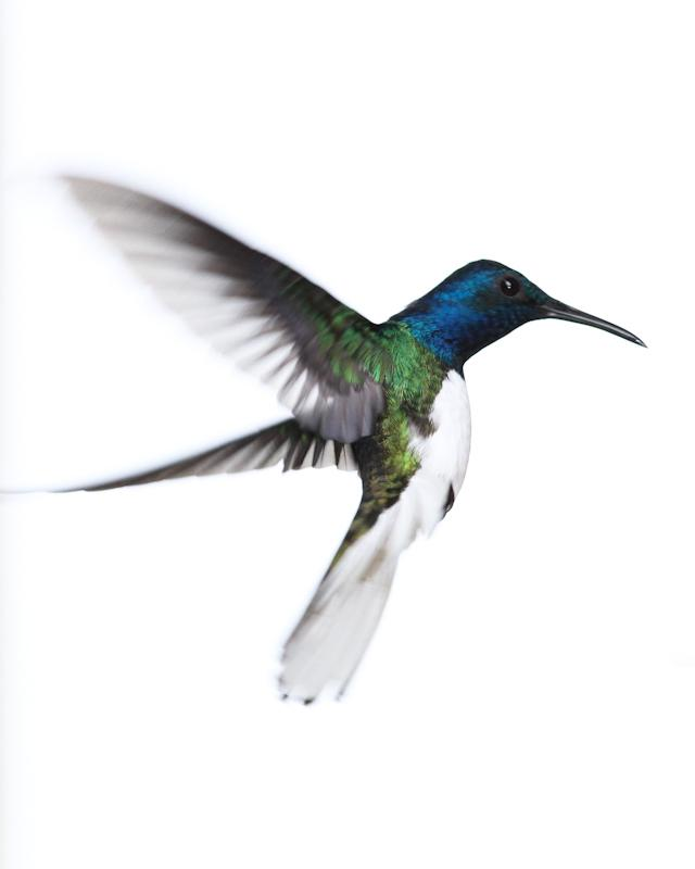 White-necked Jacobin Photo by Cody Conway