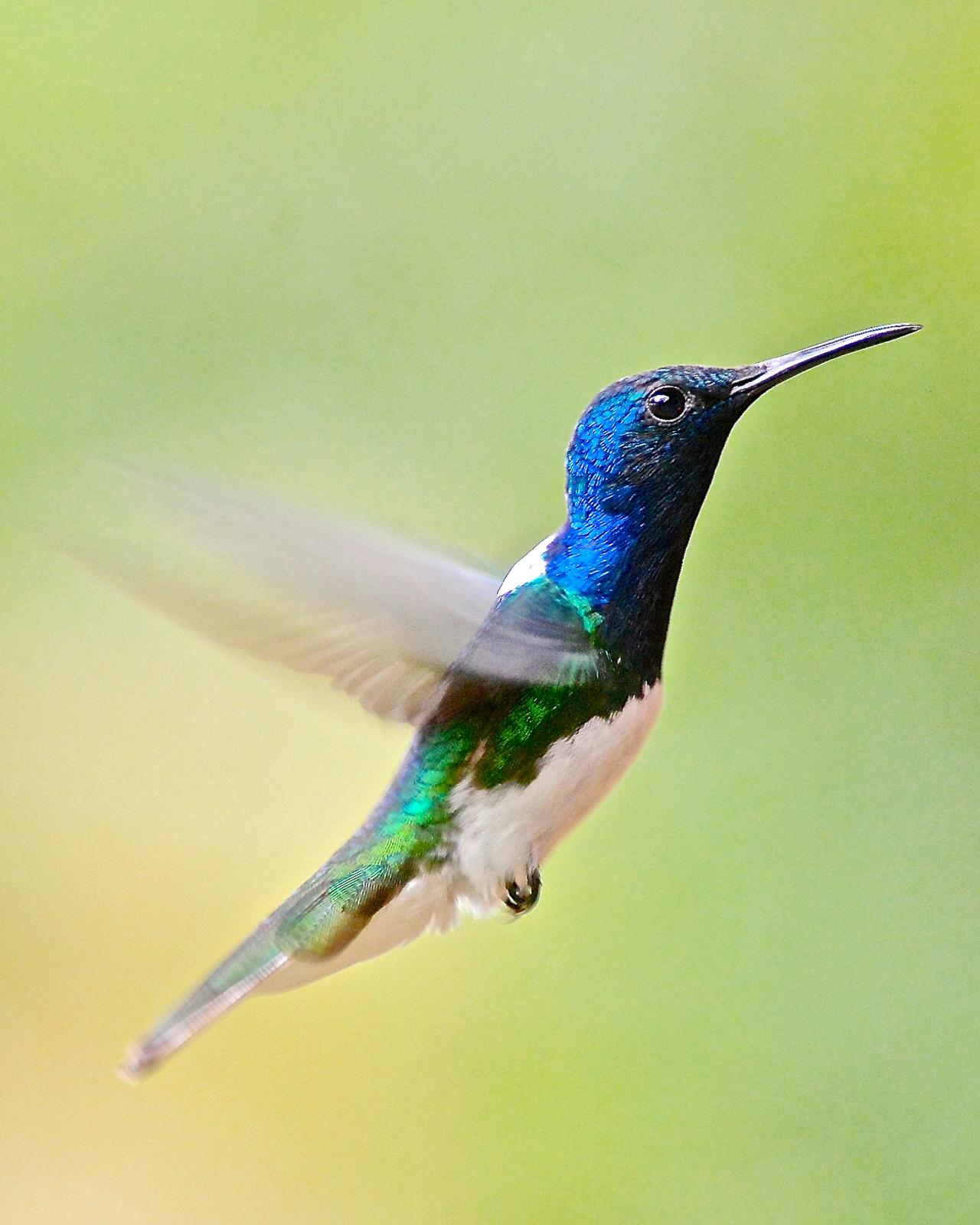 White-necked Jacobin Photo by Gerald Friesen