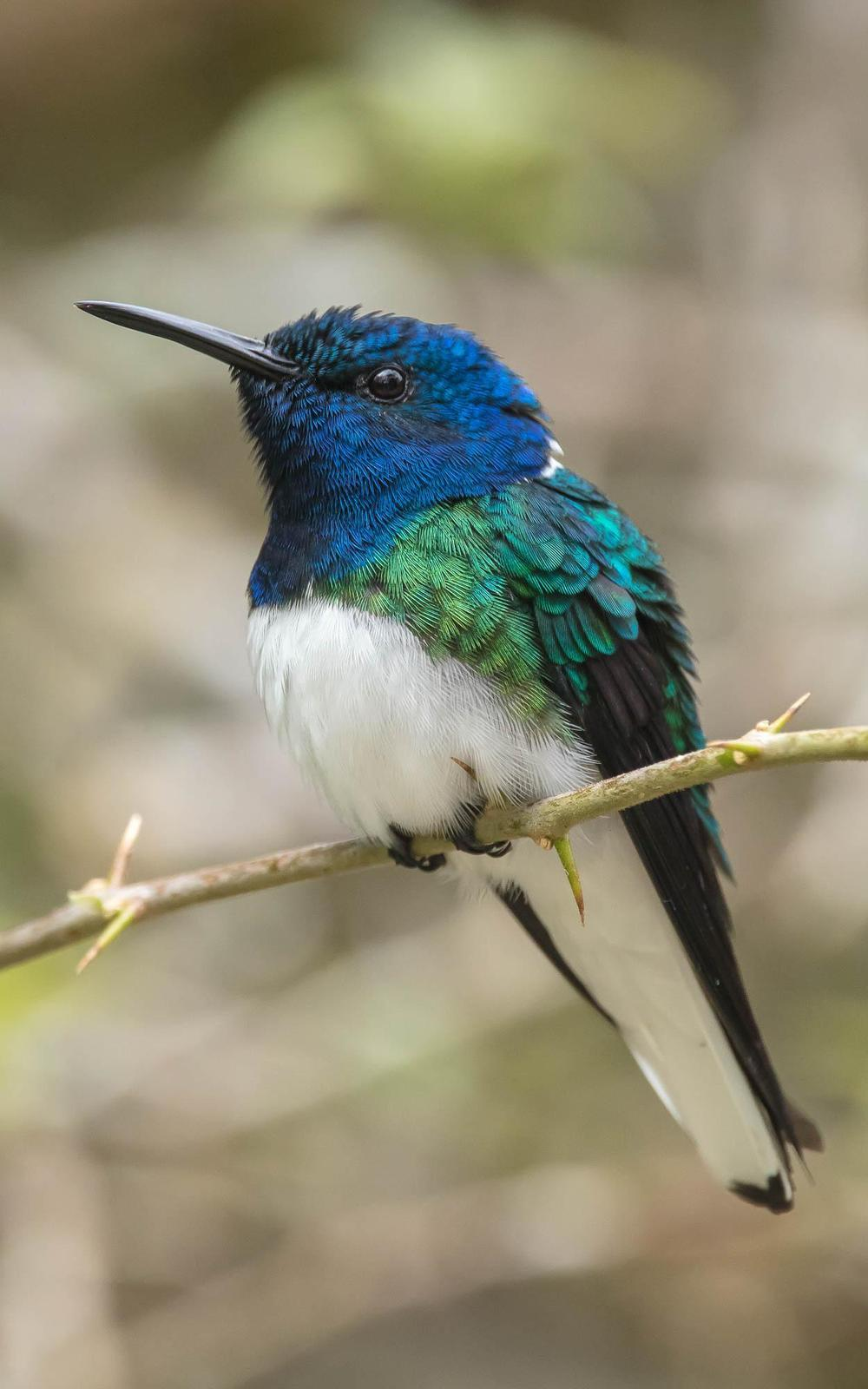 White-necked Jacobin Photo by Denis Rivard