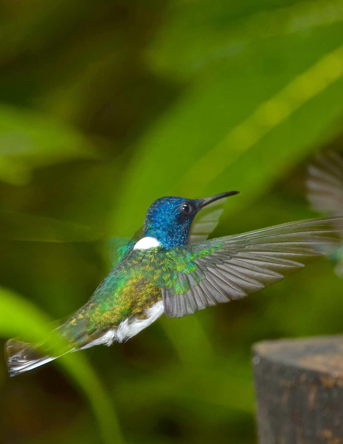 White-necked Jacobin Photo by Andrew Pittman