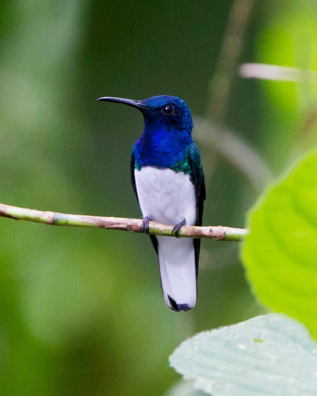 White-necked Jacobin Photo by Kevin Berkoff